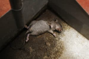 dead mouse in basement